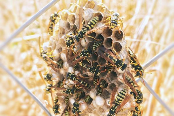 Wespengiftallergie